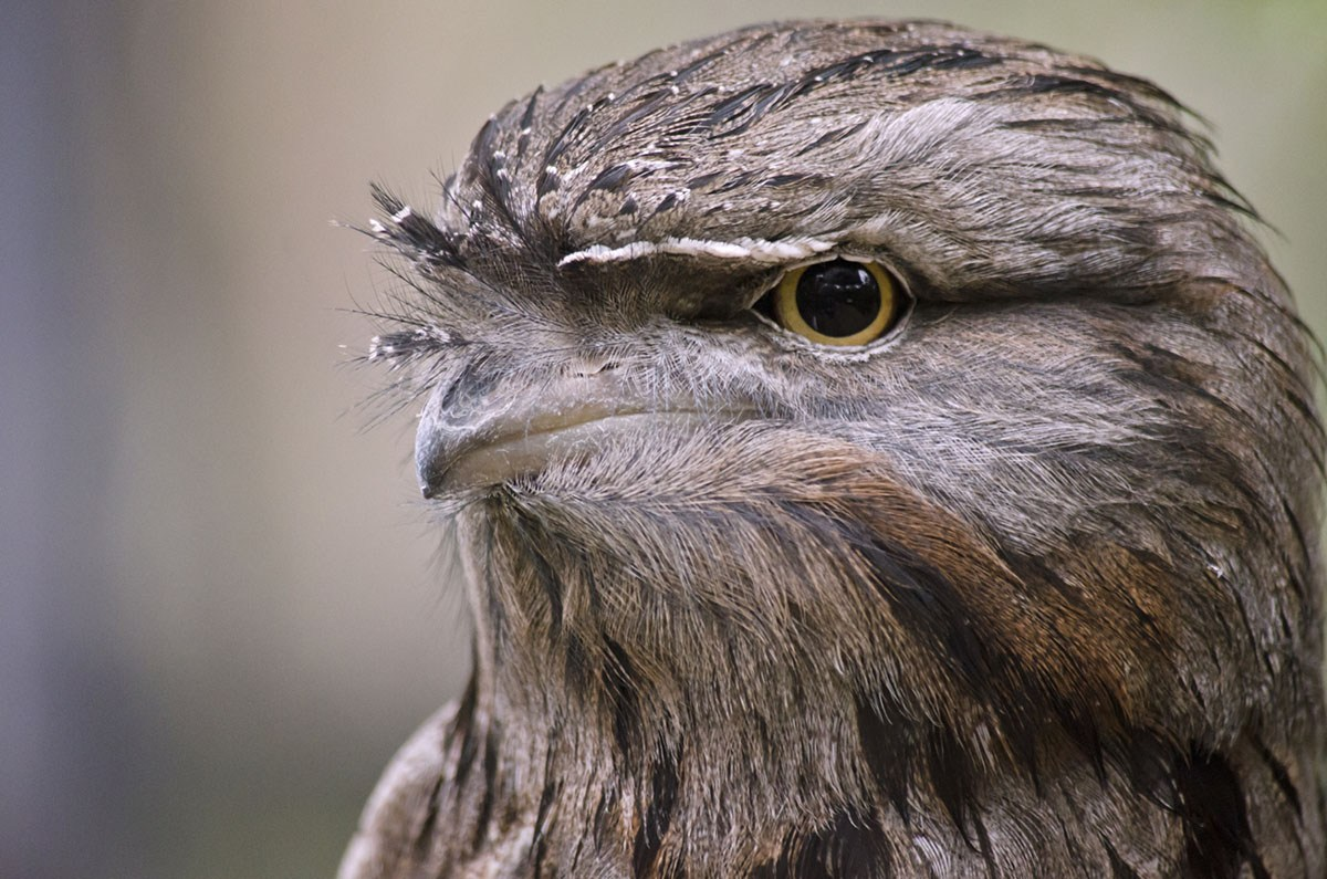 What is the 'most Instagrammable' bird? Study says frogmouths