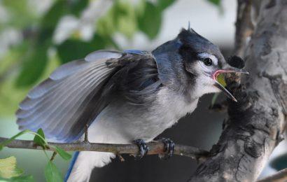 Bird disease spreads in east, excessive heat threatens birds in west