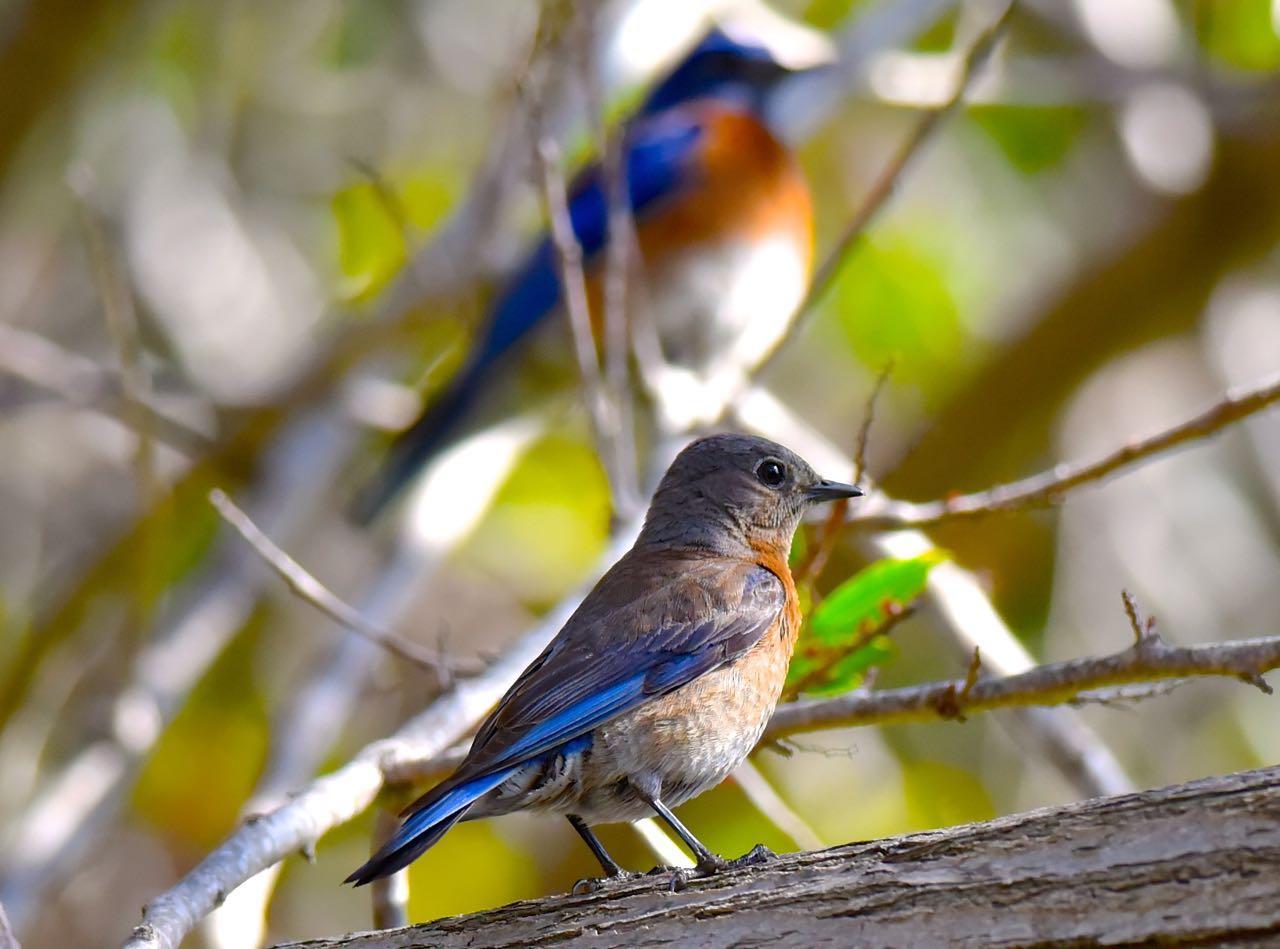 Western Bluebirds by Bob Betancourt