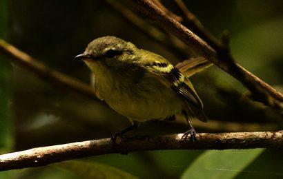 Little-known flycatcher rediscovered in Venezuela