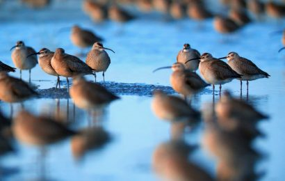 World's largest Whimbrel roost discovered