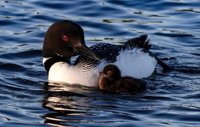Oil spill settlement funds to benefit loons