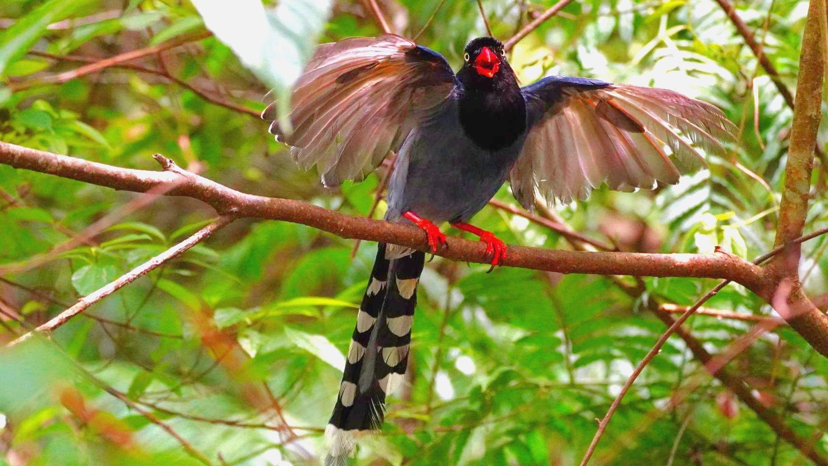Taiwan Blue-Magpie