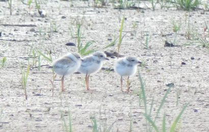 Debut set for Piping Plover documentary
