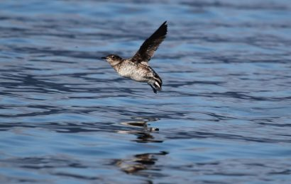 Protection increased for Marbled Murrelet