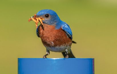 Tips for attracting bluebirds to your yard