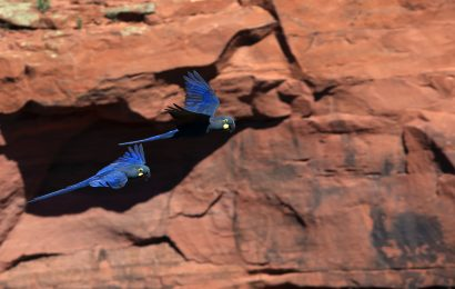 Wind energy facility threatens endangered Lear's Macaw