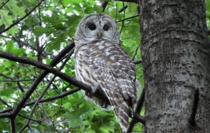 Barry the Barred Owl