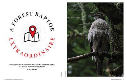 A Forest Raptor Extraordinaire
