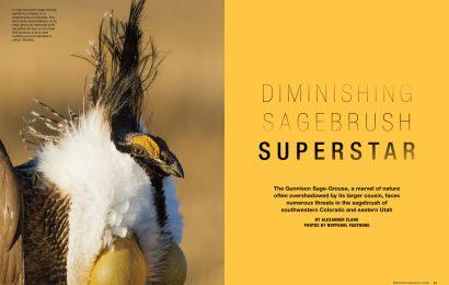 Diminishing Sagebrush Superstar