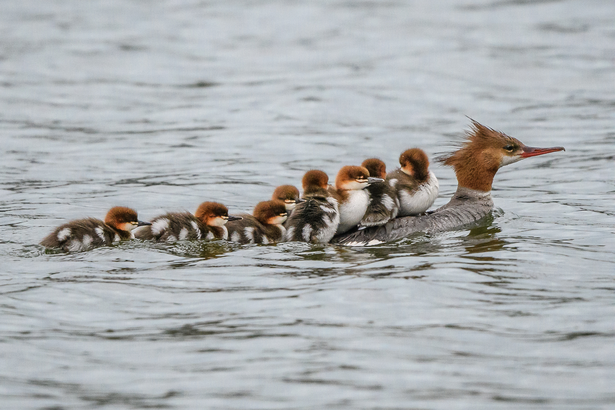 Red-breasted Mergansers