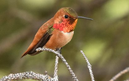 A new hummingbird guide and more books for birders