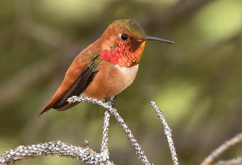 Rufous Hummingbird. Photo by David Mundy