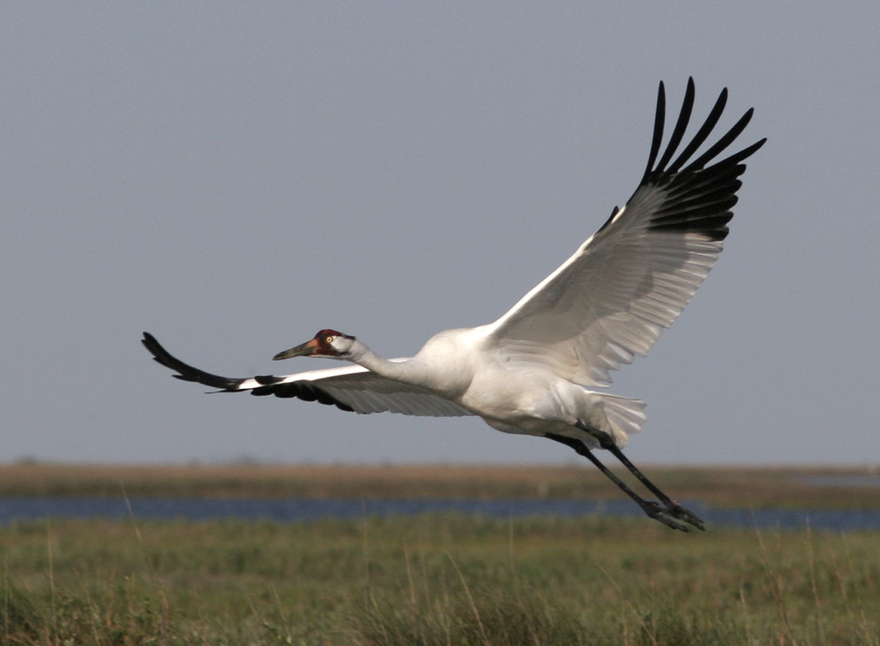 Whooping Crane. Photo by Mary Welty