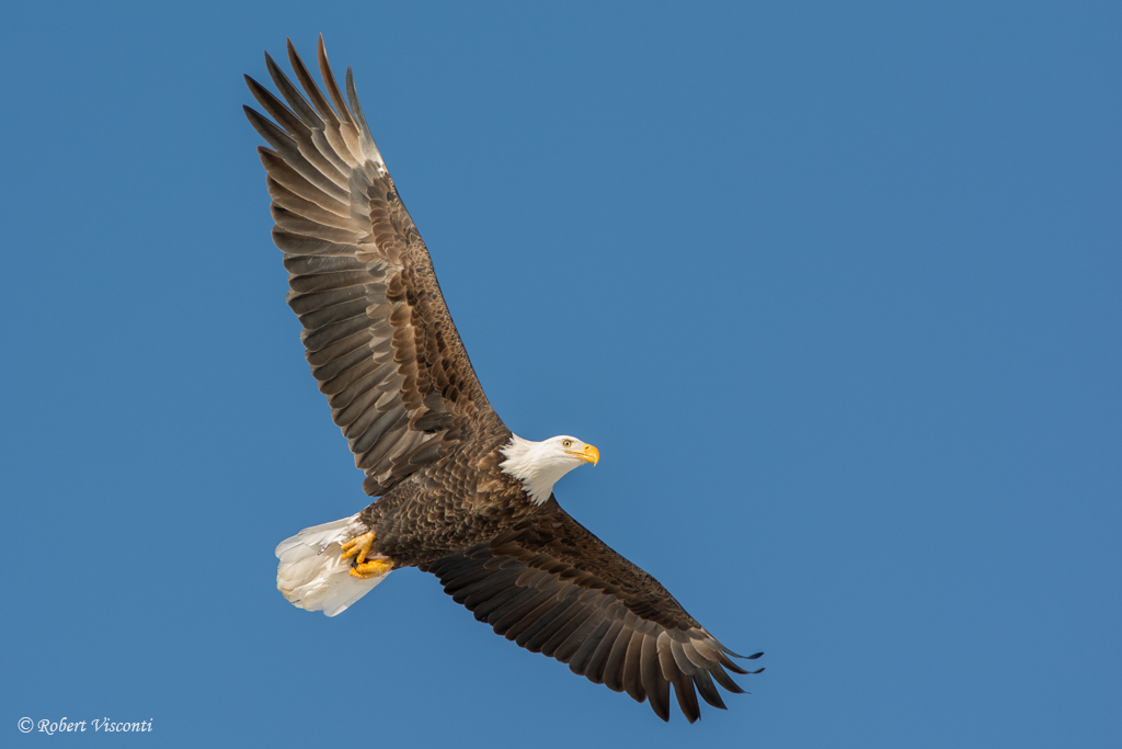 Bald Eagles are the subject of the book Bald Eagles in the Wild: A Visual Essay of America's National Bird. Photo by Robert Visconti