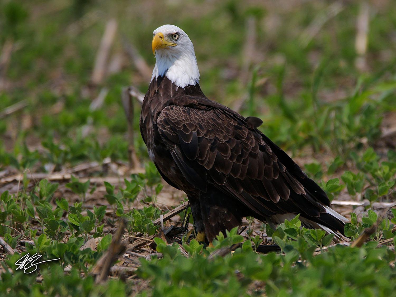 Bald Eagle. Photo by Scott Zimmermann