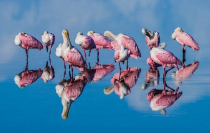 2021 BirdWatching Photography Awards third place: Roseate Spoonbills