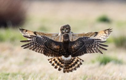 2021 BirdWatching Photography Awards first place: Short-eared Owl and Northern Harrier