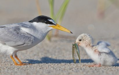 2021 BirdWatching Photography Awards second place: Least Terns