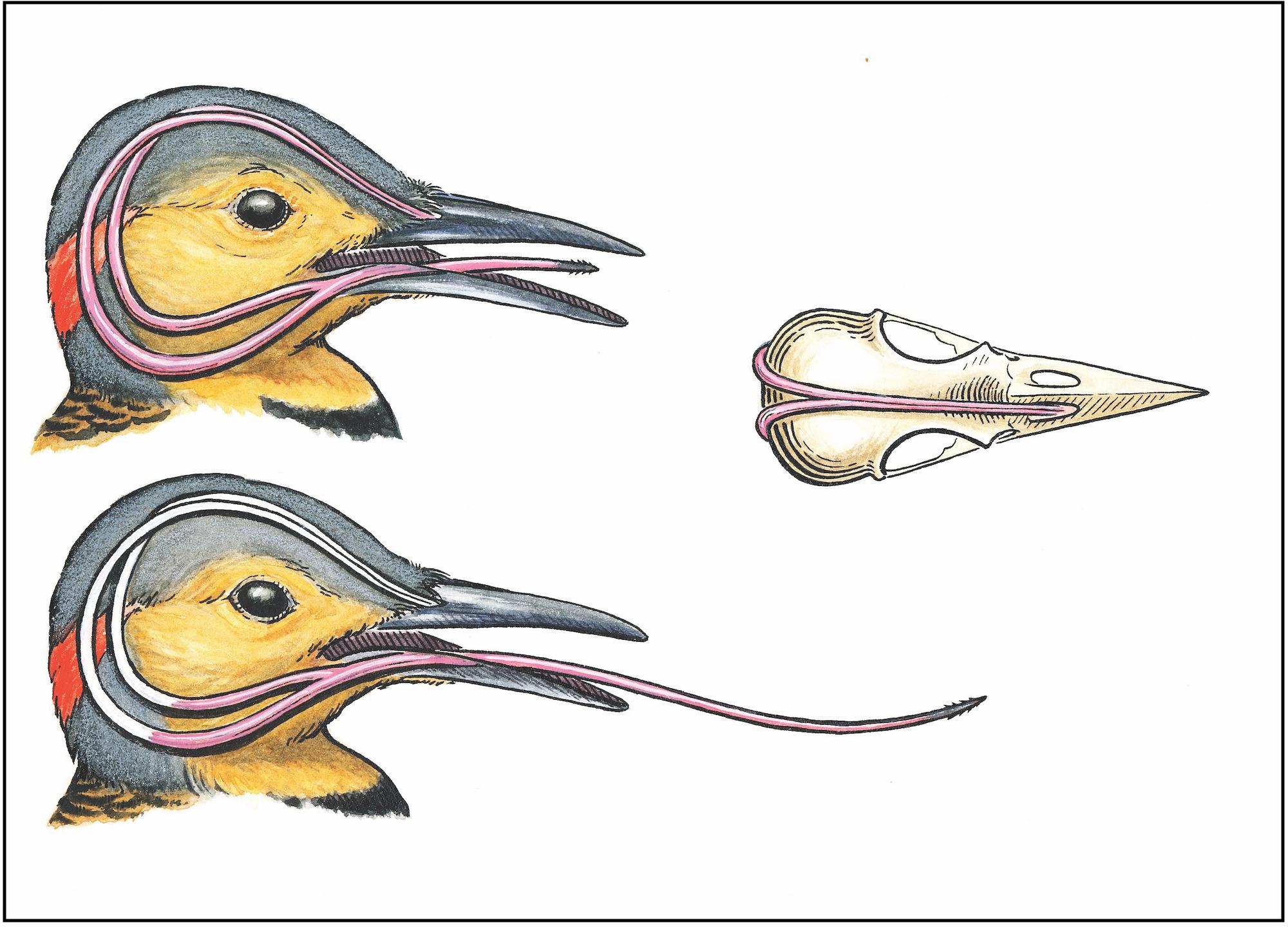 brain damage in woodpeckers