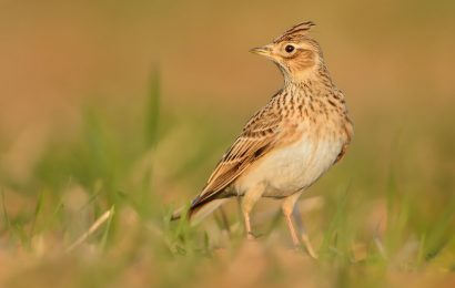 Bird poaching planned in France and more recent birding news