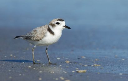 How to identify Snowy Plover