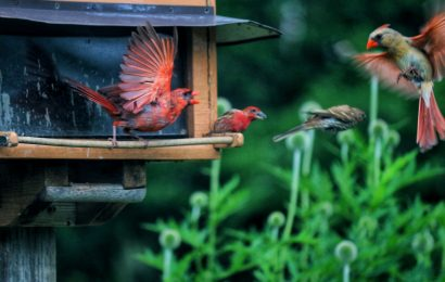 Northern Cardinals and House Finches