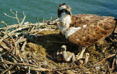PBS film offers intimate look at nesting Osprey