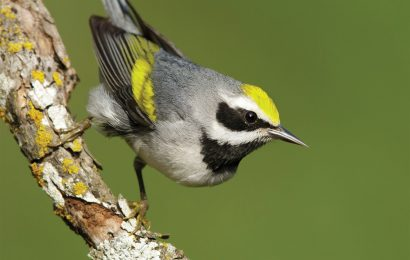 The key to Golden-winged Warbler conservation in North Carolina