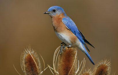 How to identify bluebirds