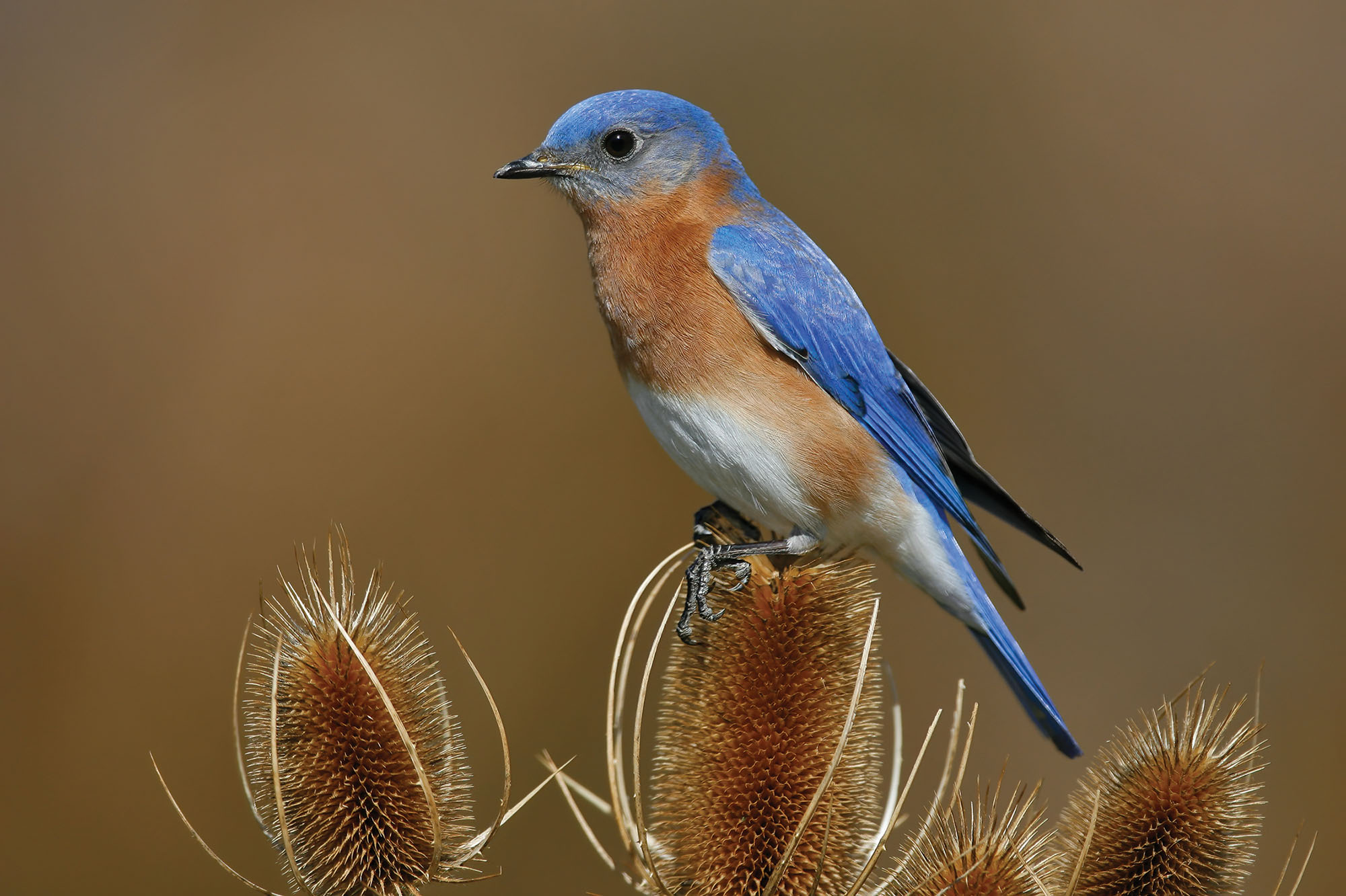 How to Identify Eastern Bluebird. Photo by Brian E. Small