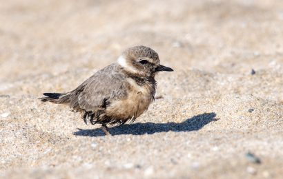 Birds affected by the California oil spill