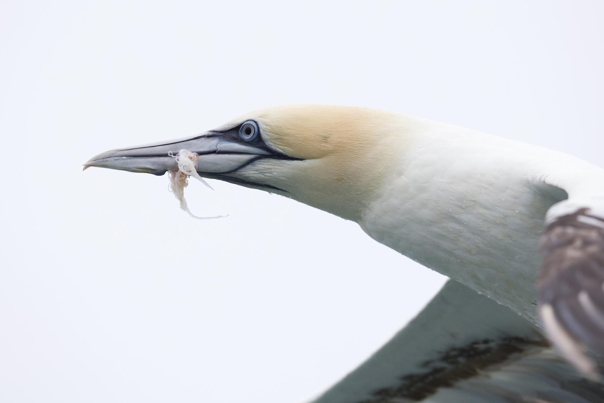Seabirds eating plastic