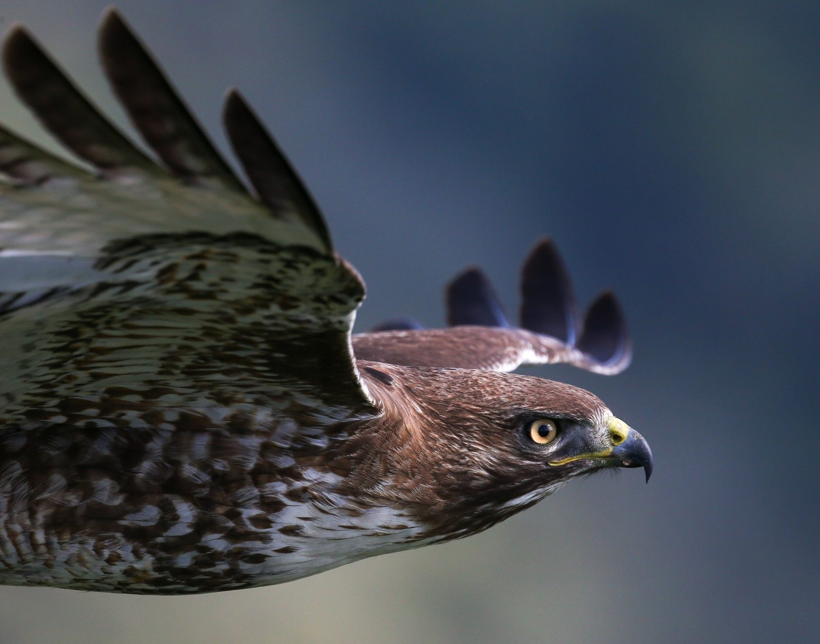 Birds in Flight 2021: Red-tailed Hawk by Anthony Fuccella