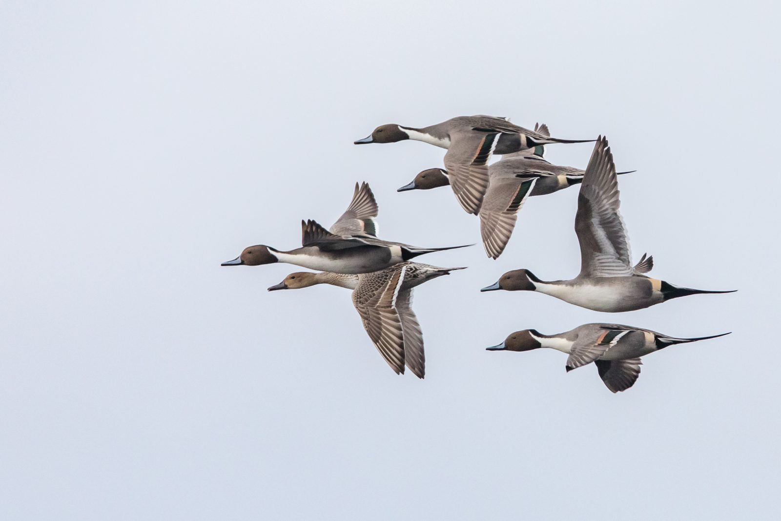 Pintails in Fliight