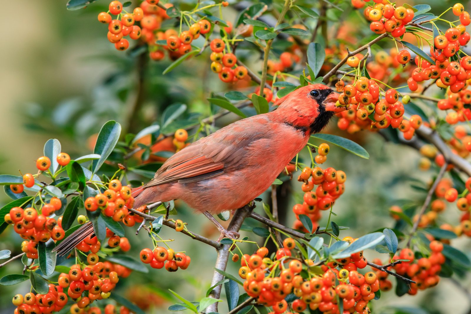 Cardinal in the Pyracantha Bush
