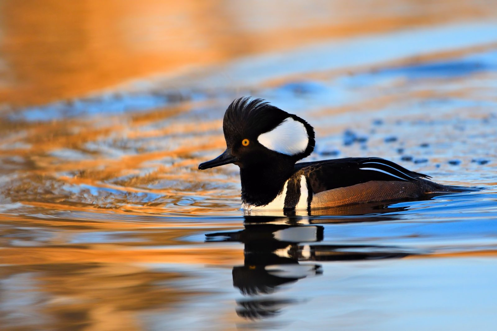 Sunrise Hooded Merganser