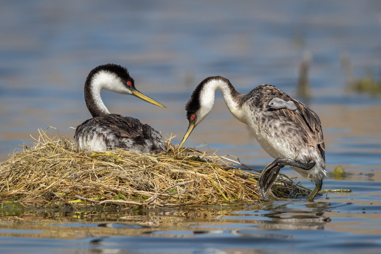 Western grebe father & chick return to nest