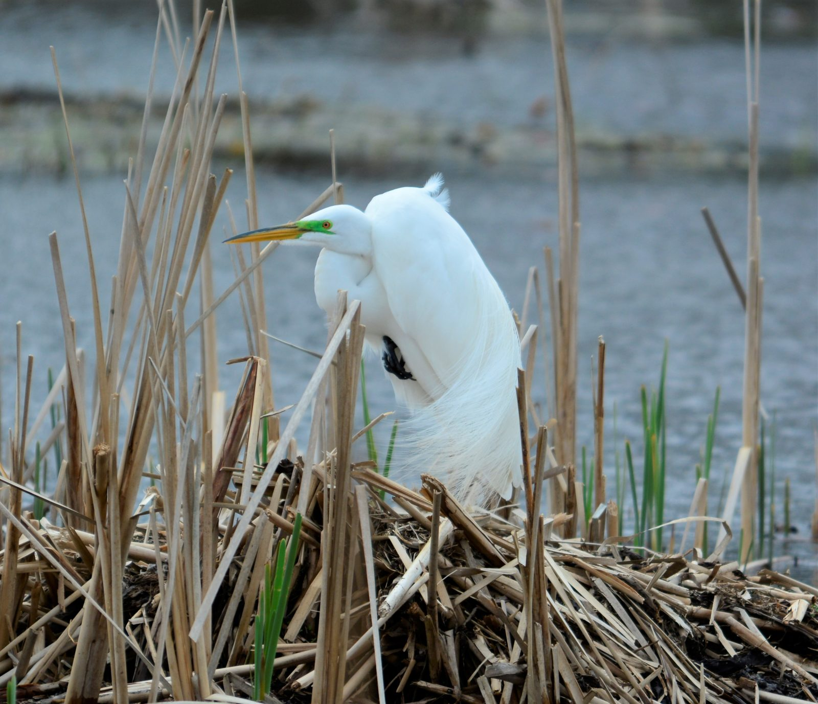Egret on a Windy Day