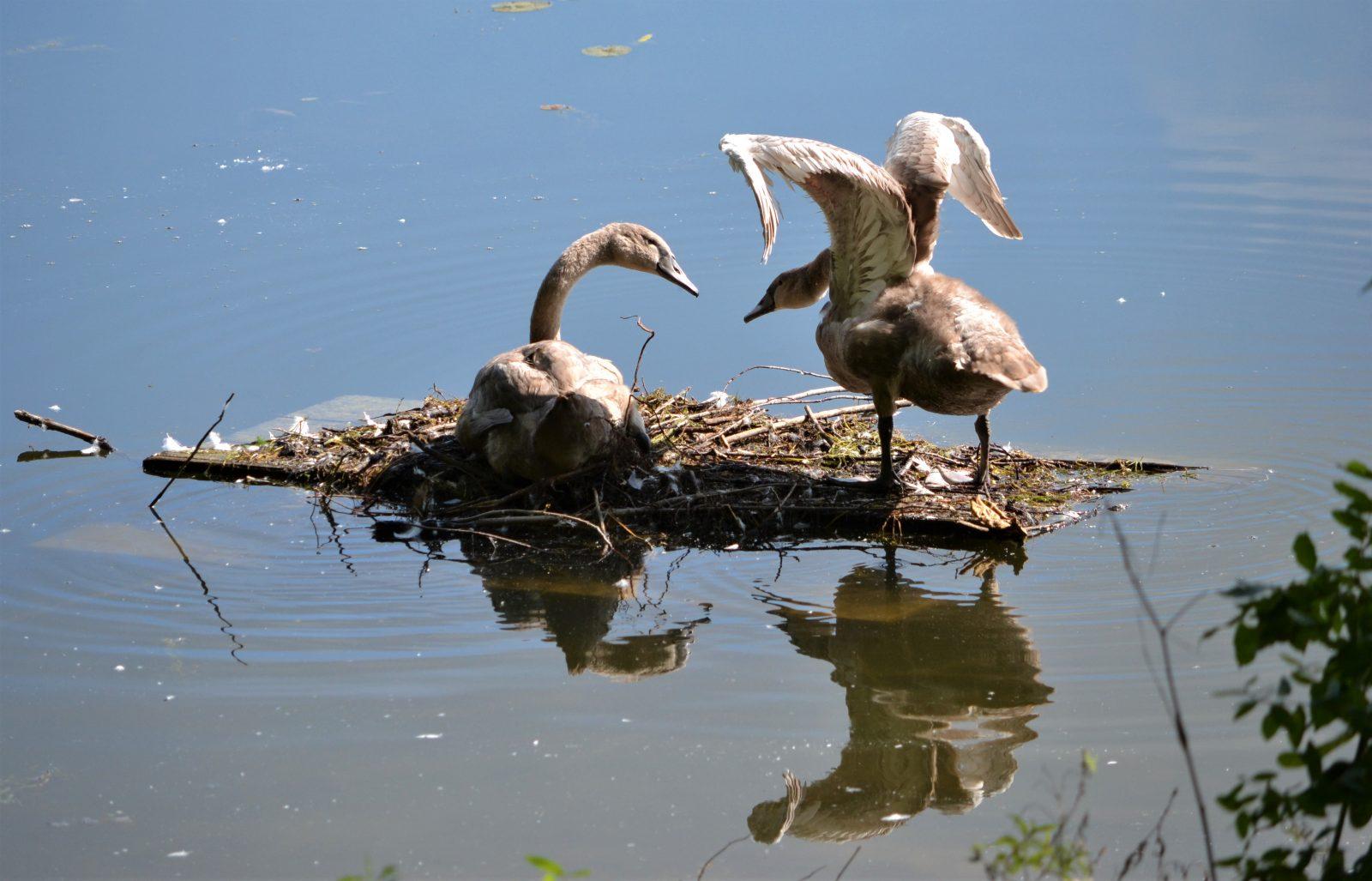 Two Mute Swan Cygnets
