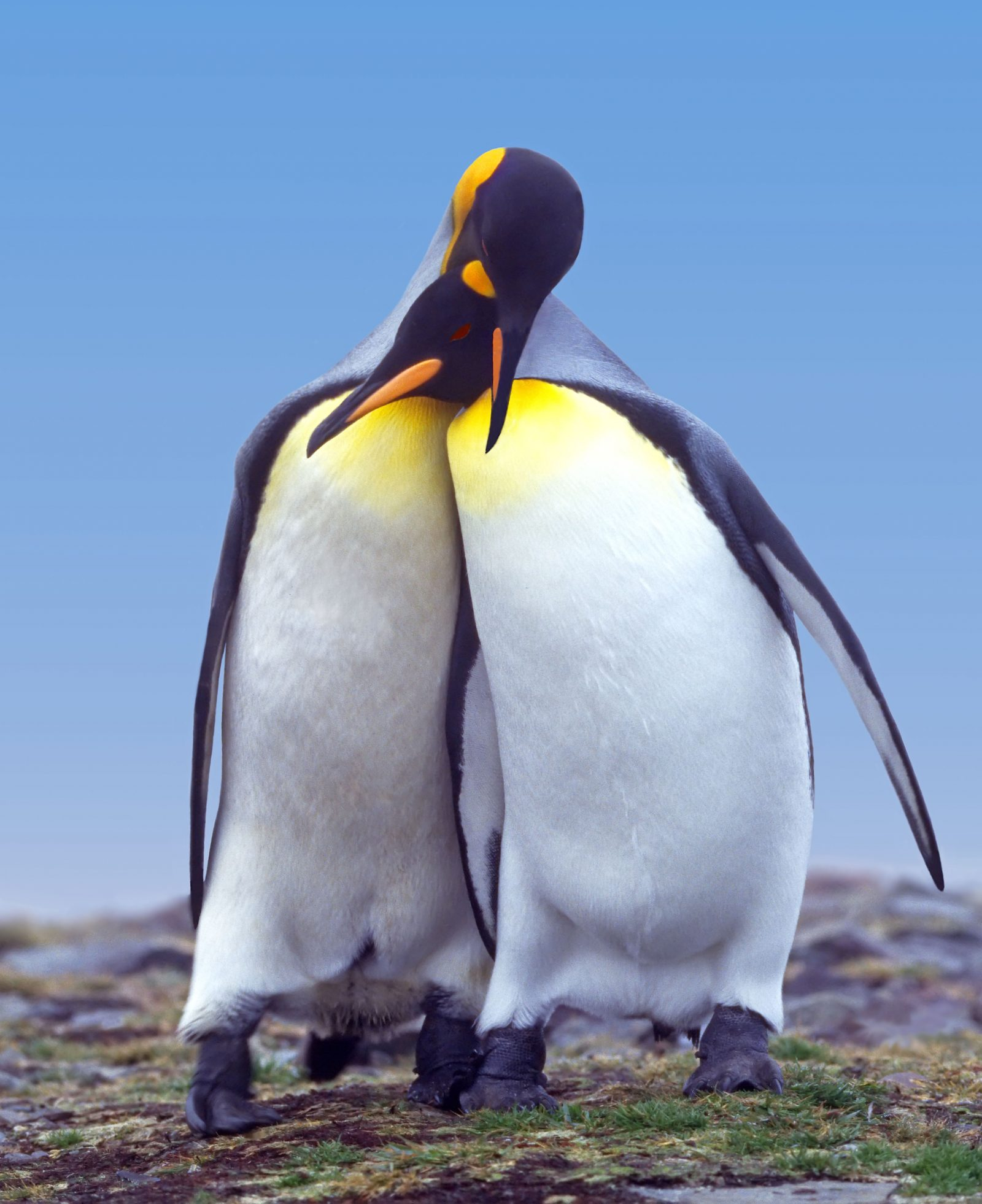 King Penguin Courtship
