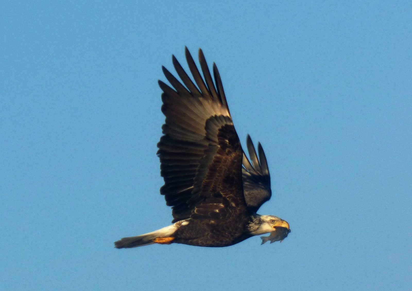 Eagle In Flight With Dinner