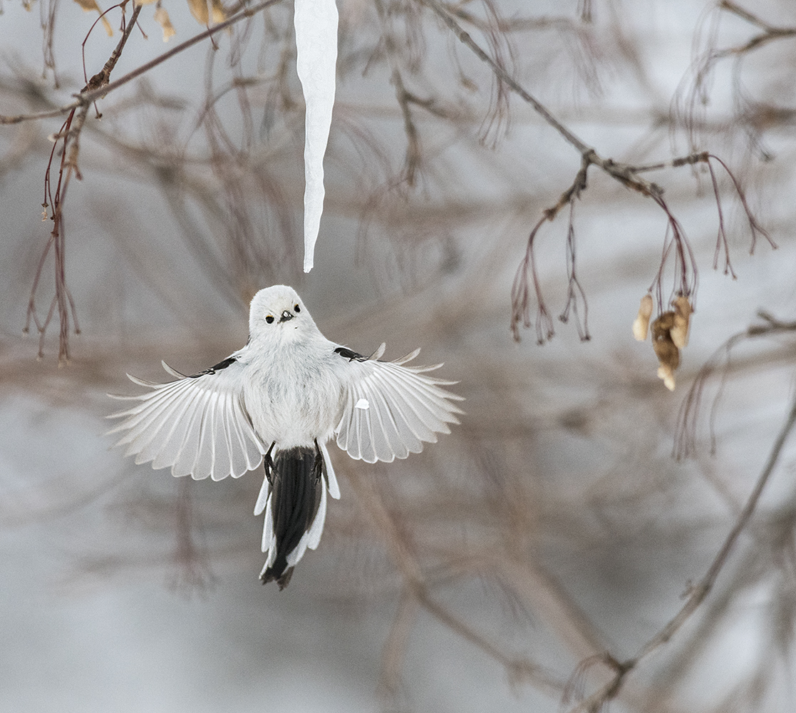 Long-tailed tit with icicle