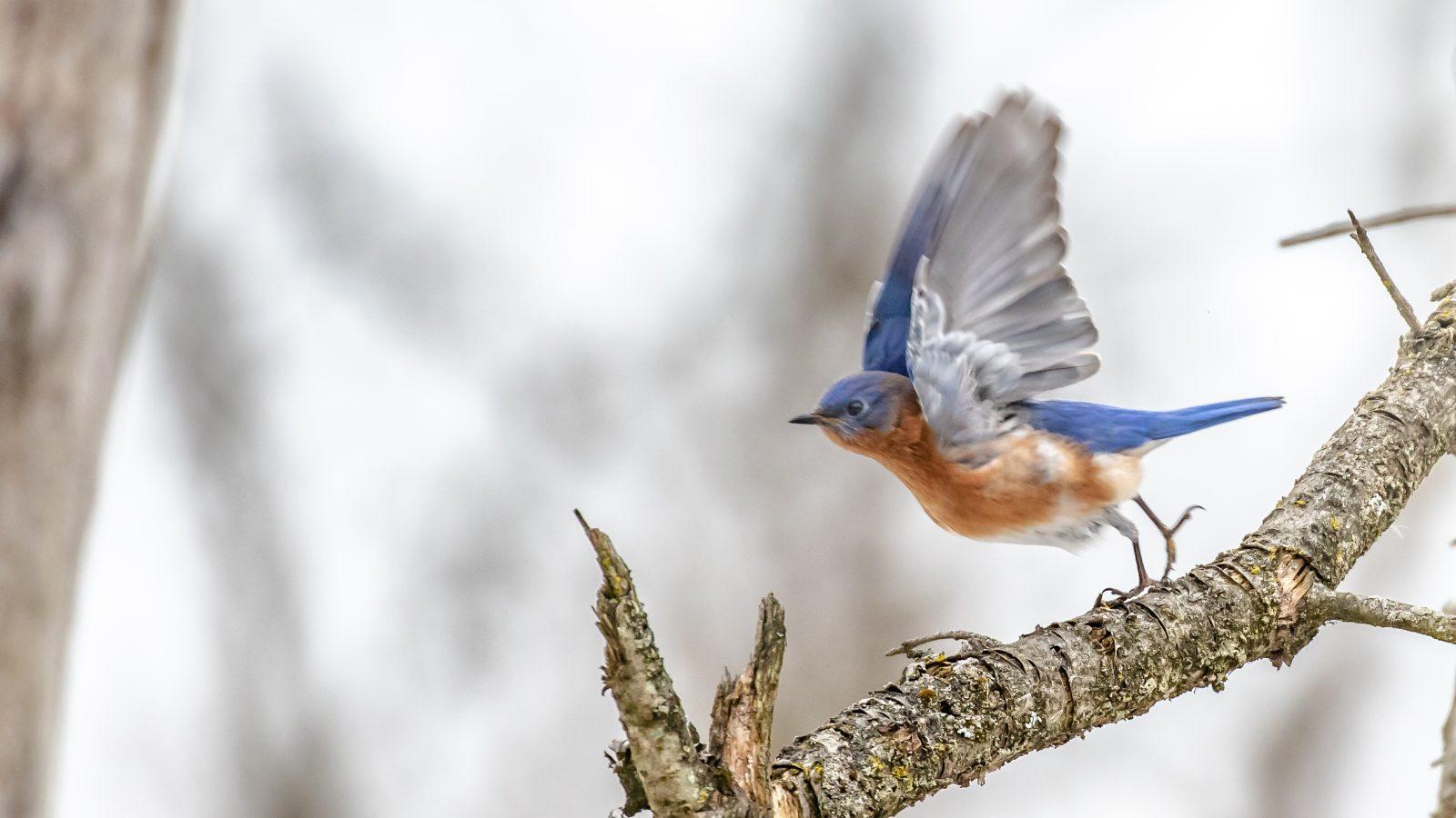 Eastern Bluebird takes off