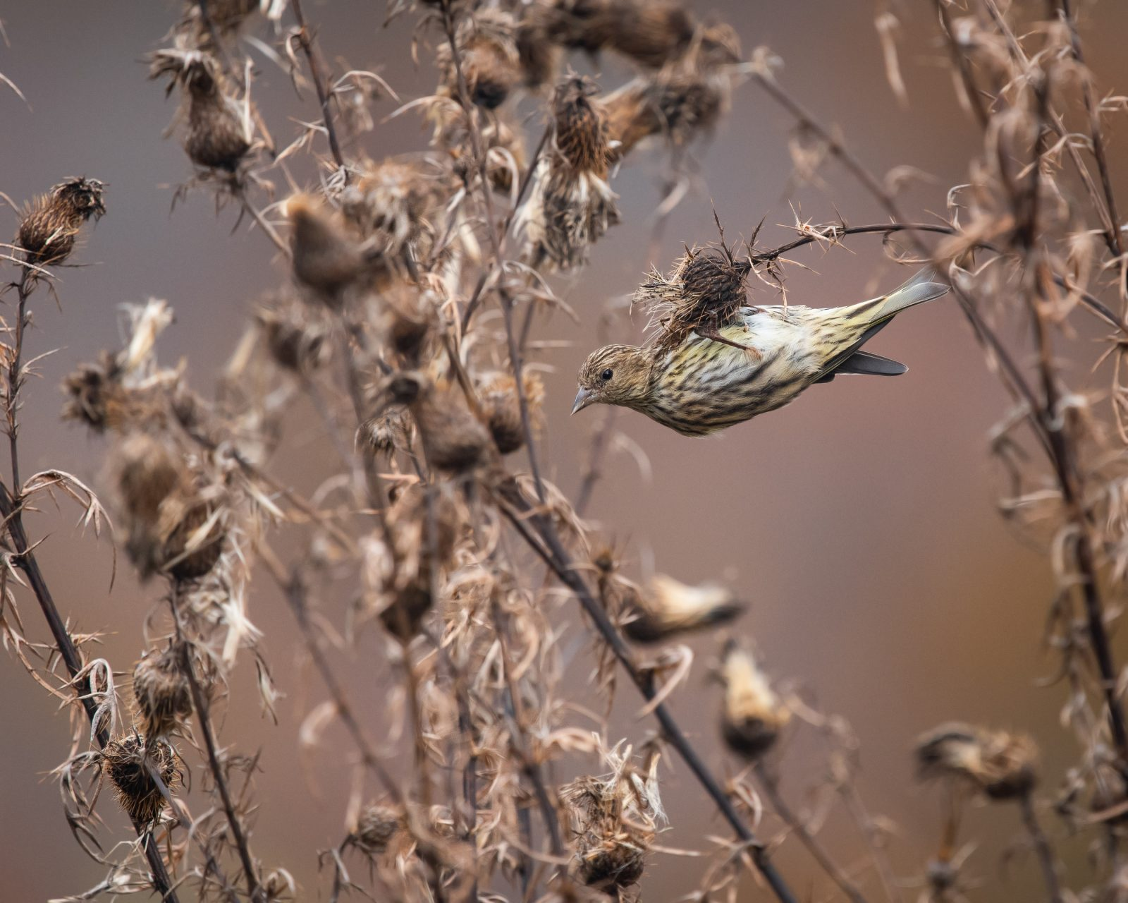 Pine Siskin in Swamp Thistle