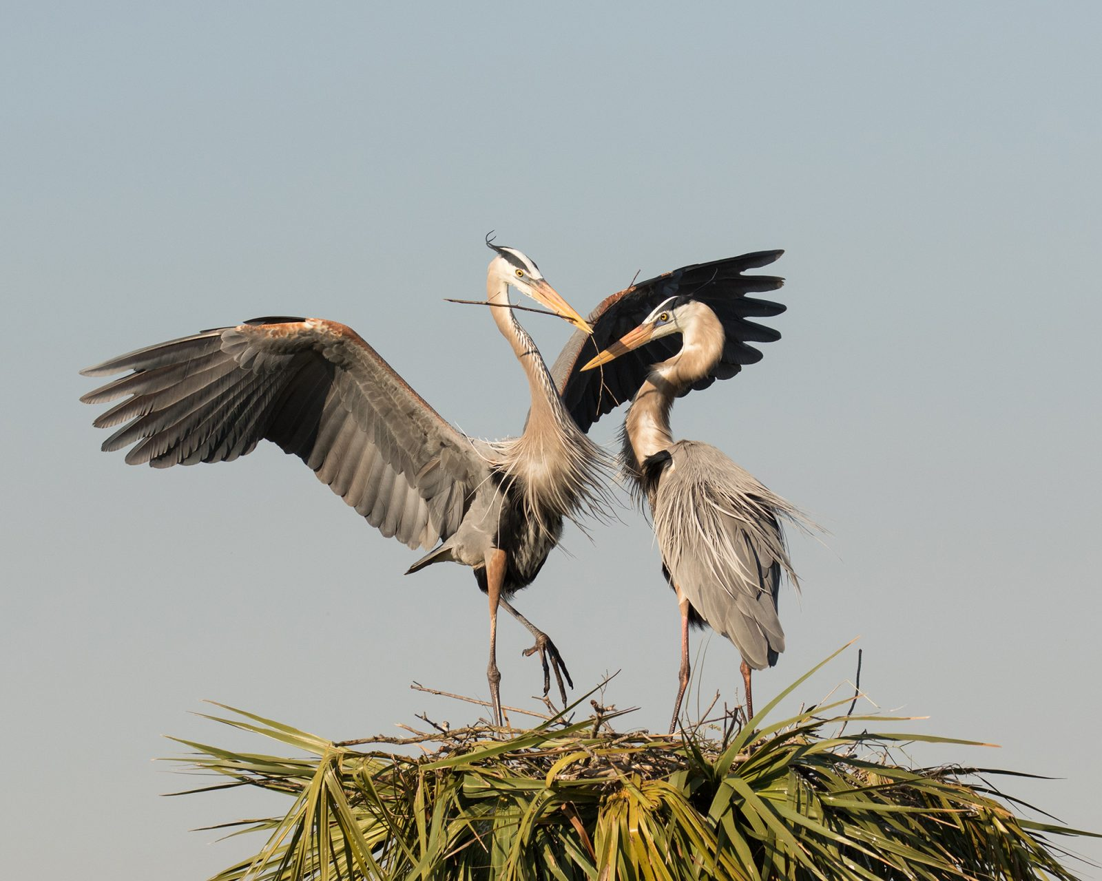 Great Blue Heron Romance