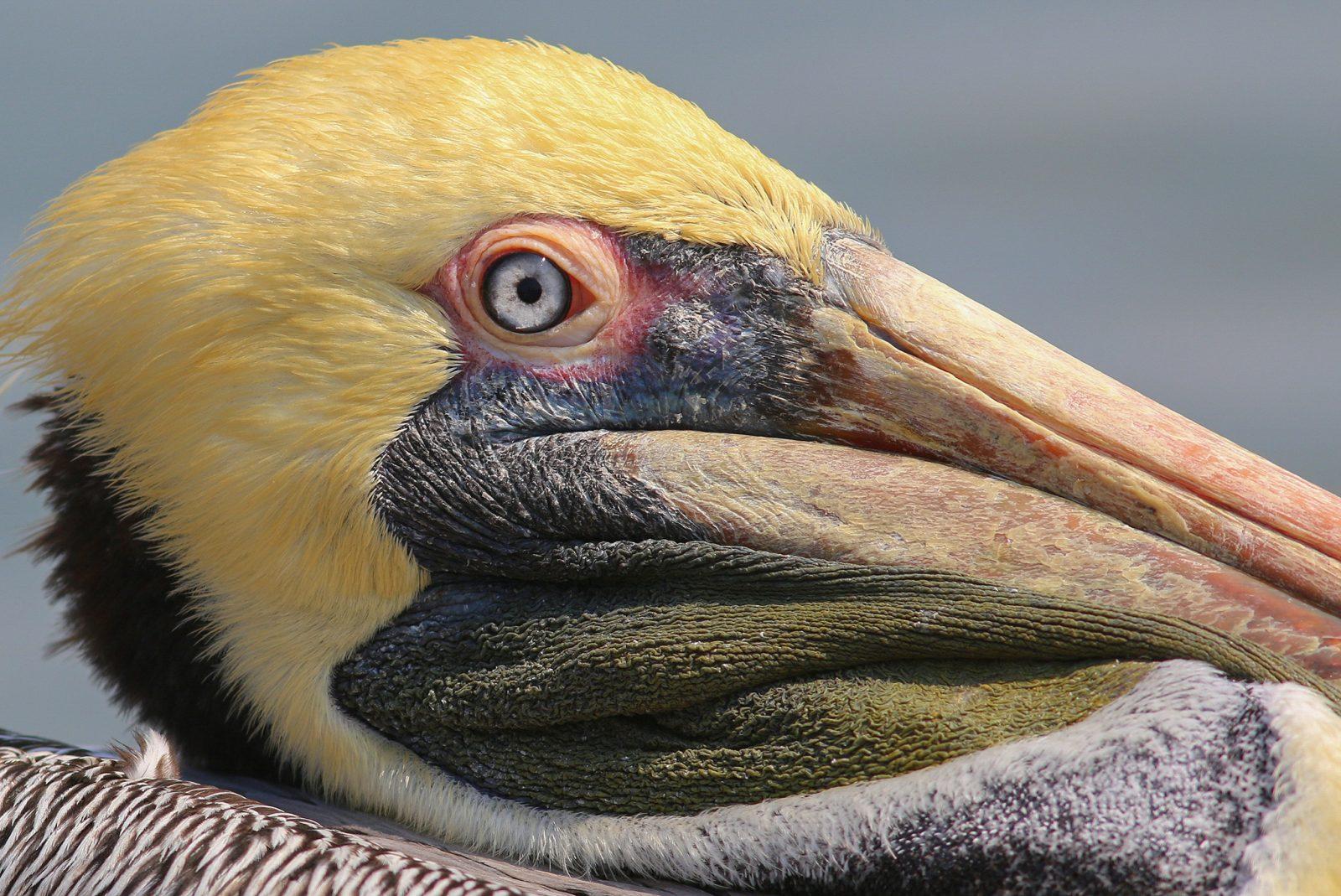 Brown Pelican Details