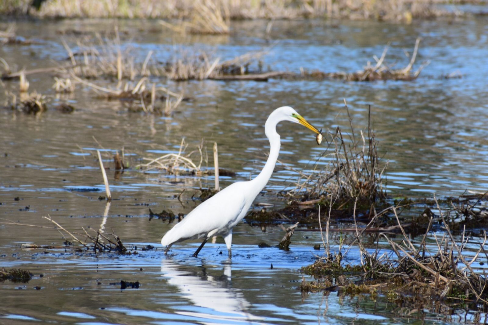 Great Egret On Prowl >> Egret On The Prowl Birdwatching
