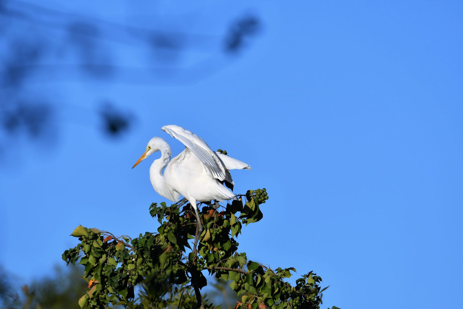 Proud Great Egret