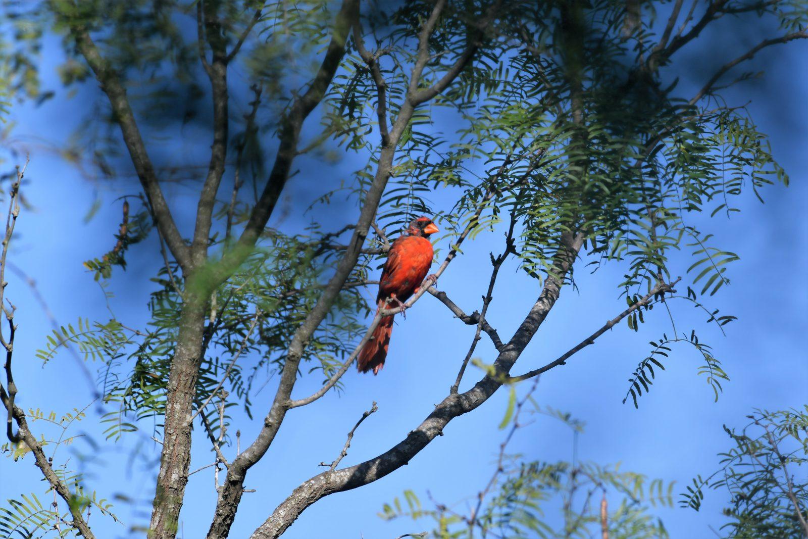 Northern Cardinal on Texas Mesquite Tree
